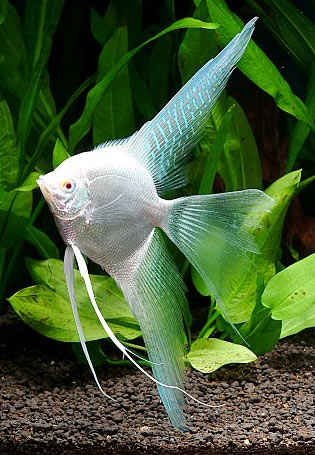 Red Angelfish | Welcome To Javed Fisheries We Are Breeder Wholesale Dealer