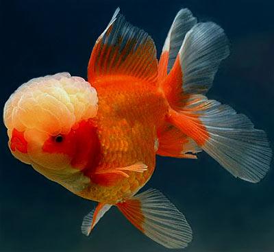 ... moor, panda goldfish, oranda, redcap goldfish, ryukin, shubunkin etc
