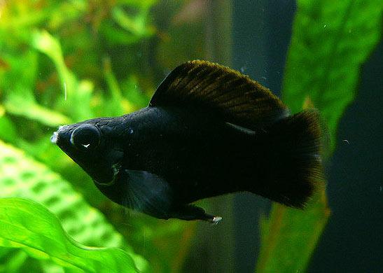 Molly Fish Tropical, freshwater fish.