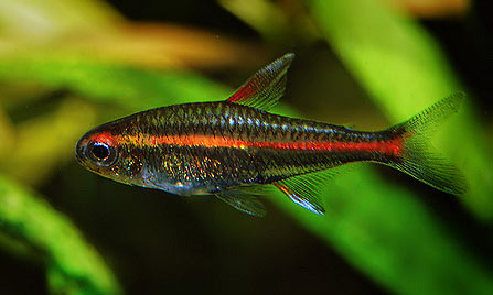 Related Pictures head tail light tetra hemigrammus ocellifer