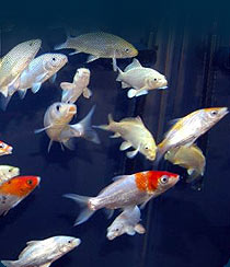 Welcome To Javed Fisheries We Are Breeder Wholesale Dealer